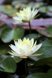waterlilies Fotografia Stock