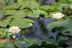 waterlilies Стоковое Изображение