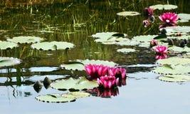 waterlilies Стоковые Фото