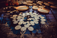 waterlilies Foto de Stock Royalty Free
