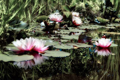 waterlilies photographie stock