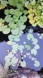 waterlilies Photographie stock libre de droits