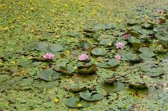 Waterlilies Fotografía de archivo