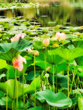 waterlilies Stock Fotografie