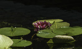 waterlilies Stock Foto