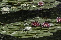 Waterlilies Foto de archivo libre de regalías