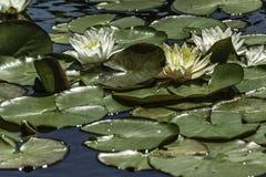 Waterlilies Imagen de archivo