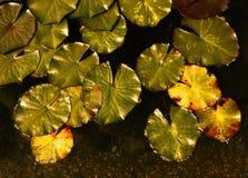 Waterlilies foto de archivo