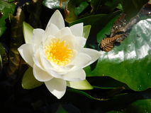 waterlilies Photo stock
