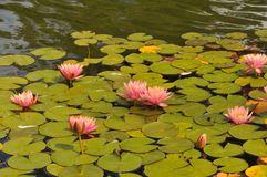 Waterlilies at Balboa Park - Pink Blooms with Leaves Nymphaeace. A stand of waterlilies with pink blooms and green leaves float on the surface of the lily pond royalty free stock images
