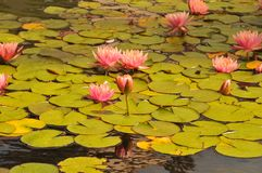 Waterlilies at Balboa Park - Pink Blooms with Leaves Nymphaeace. A stand of waterlilies with pink blooms and green leaves float on the surface of the lily pond stock photo