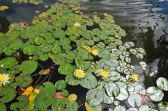 Waterlilies at Balboa Park - Yellow Blooms with Leaves Nymphaea. A stand of waterlilies with yellow blooms and green leaves float on the surface of the lily pond stock photo