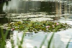 Waterlilies brancos, amarelos e cor-de-rosa Fotos de Stock Royalty Free