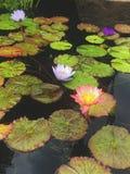 Waterlilies coloré flottant dans un étang photographie stock libre de droits