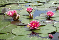 Waterlilies dans la fontaine Images libres de droits