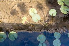 Waterlilies dans les endroits historiques antiques de jardin de Rockefellers de l'Israël Images libres de droits