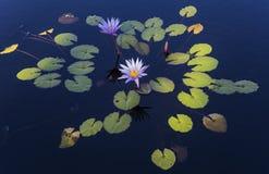 Waterlilies dans un jardin botanique, à Naples, la Floride, Etats-Unis image stock