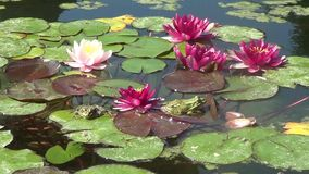 Waterlilies en kikkers stock videobeelden