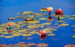 Waterlilies en van bezinningenvandusen Tuinen stock fotografie