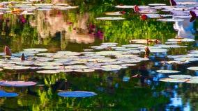 Waterlilies en van bezinningenvandusen Tuinen stock afbeelding