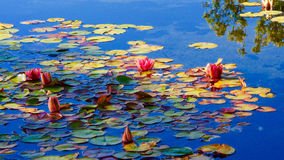 Waterlilies en van bezinningenvandusen Tuinen royalty-vrije stock fotografie