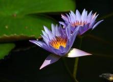 Waterlilies et abeille Image libre de droits