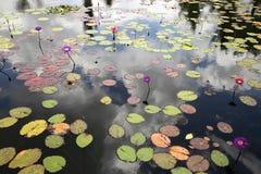 Waterlilies florecientes múltiples en una charca grande Imagen de archivo libre de regalías