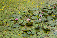 Waterlilies Stock Photography