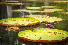 Waterlilies géants Photo libre de droits