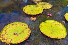 Waterlilies géants Image libre de droits