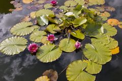 Waterlilies in garden pond Royalty Free Stock Photo