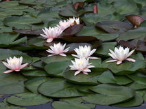 Waterlilies Royalty Free Stock Image