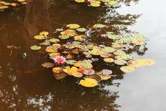 Waterlilies i vatten Arkivbilder