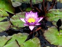 Waterlilies im Koi Teich Stockbilder