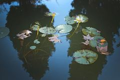 Waterlilies and leaves in murky pond. With fields of light and darkness Stock Images