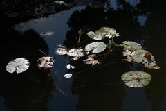 Waterlilies and leaves in murky pond. With fields of light and darkness Stock Photos