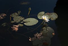 Waterlilies and leaves in murky pond. With fields of light and darkness Royalty Free Stock Images
