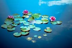 Waterlilies na lagoa foto de stock royalty free
