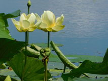 Waterlilies na lagoa Imagem de Stock Royalty Free