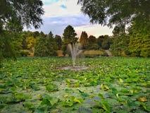 Waterlilies no lago Foto de Stock Royalty Free