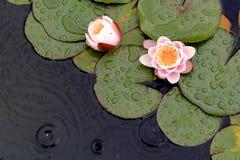 Waterlilies och Lily Pads på ett damm i regnet Arkivfoto