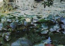 Waterlilies que floresce no lago, flor romântica bonita da água Foto de Stock Royalty Free