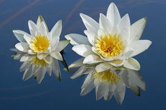 Waterlilies reflected in water. Royalty Free Stock Photos