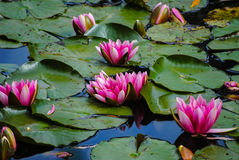 Waterlilies rosado brillante Fotografía de archivo