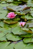 Waterlilies rose Photos libres de droits