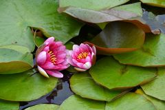 Waterlilies rose Image libre de droits