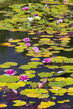 Waterlilies in summertime Royalty Free Stock Image