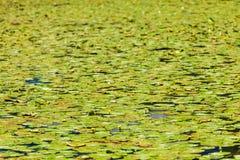Waterlilies sur la surface de lac image stock