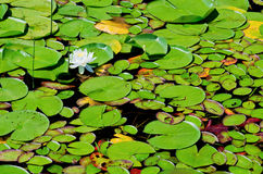 Waterlilies in transition Stock Image