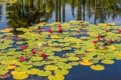 Waterlilies in vijver stock afbeelding